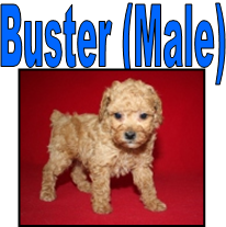 Toy Poodle Puppies For Sale In Missouri